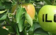 An ILC apple